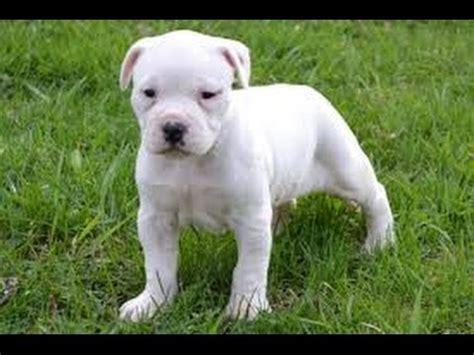 american bulldog puppies craigslist american bulldog puppies dogs for sale in jacksonville florida fl 19breeders