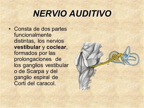 nervio vestibular nervio auditivo viii ppt descargar