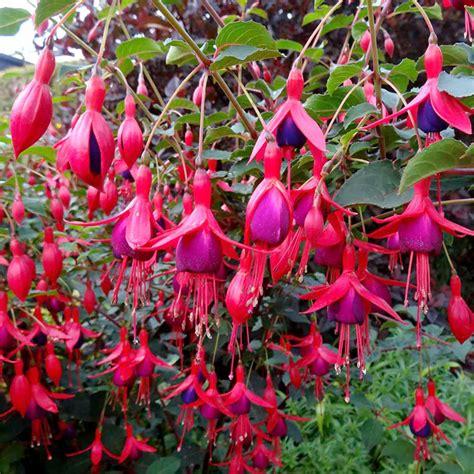 winterharte bepflanzung fuchsia