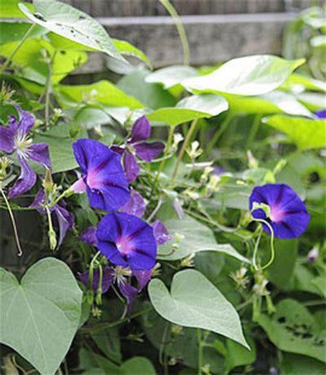 plants that climb how plants climb climbing plants trellises vines