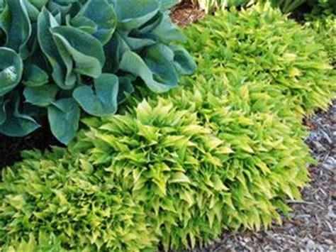 fast growing ground cover hosta lemon lime fast growing ground cover hosta with yellow