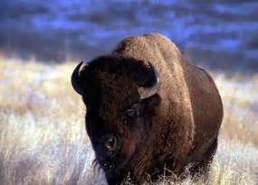 Centers For The Blind Bison Buffalo Bison Bison Wind Cave National Park U