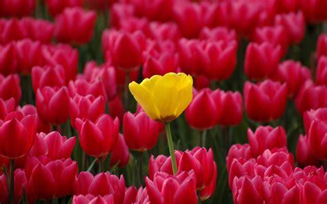 imagenes bellas hermosas y preciosas imagenes de rosas las mejores rosas de internet