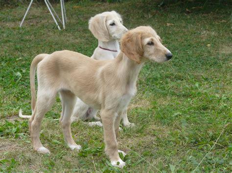 saluki puppy deluca moravia news saluki puppies 9 weeks štěň 225 tka 9 t 253 dnů