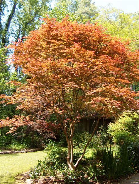 louisiana maple trees choose the right maple for your louisiana landscape lsu