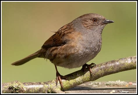 dunnock photo gary martin photos at pbase com