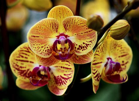 orchid colors the amazing true history of orchids and what their colors