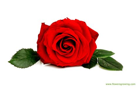 Wallpaper Gallery Rose Flower Wallpaper 6   red rose flower images 6 hd wallpaper hdflowerwallpaper com