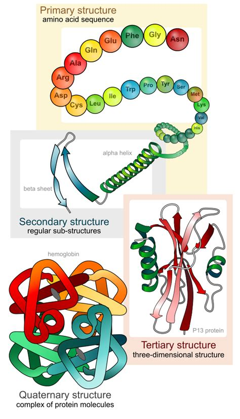 4 protein structure levels file protein structure levels en svg