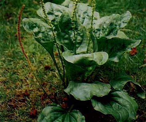 Obat Herbal Angkung resep ramuan tanaman obat tradisional daun sendok