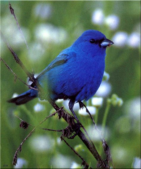 birds of north america indigo bunting male display