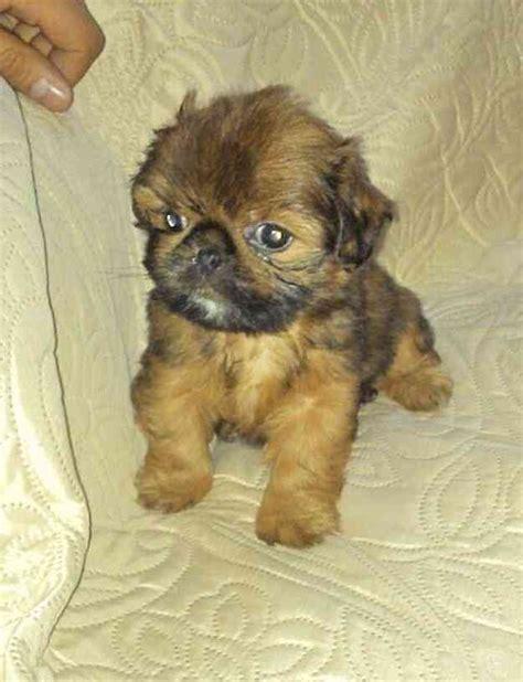 shih tzu precio shih tzu color caramelo de padres americanos hermoso cachorro te damos a buen