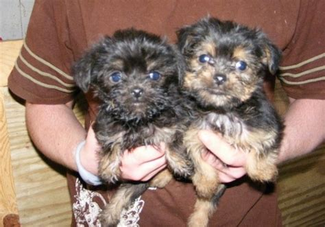 yorkie puppies for sale houston tx yorkie poo puppies for adoption in houston tx