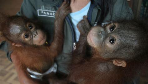 Gendongan Bayi Dua Fungsi orangutan kalimantan terancam alih fungsi lahan