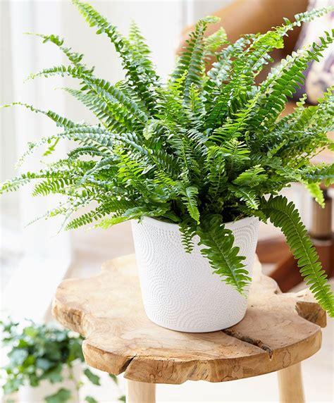 boston fern specials  bakker spalding garden company