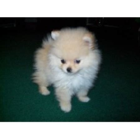puppy scammer list white pomeranian puppy scam white pomeranians breeds