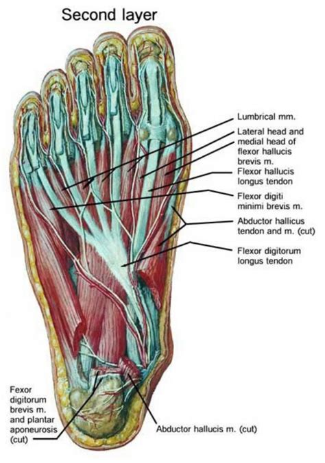 foot ligaments diagram foot anatomy tendons and ligaments human anatomy diagram
