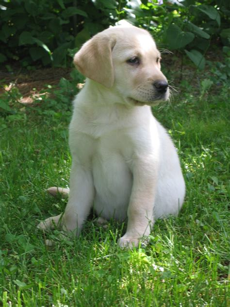 lab puppy yellow labrador puppy
