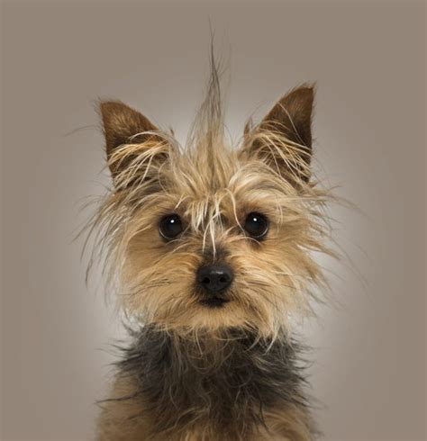 what is the expectancy of a yorkie what is the span of a teacup yorkie cuteness