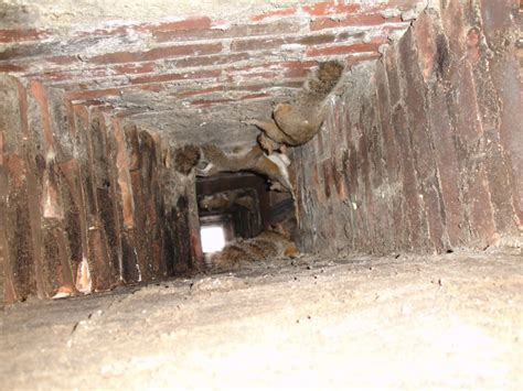 Bats In Fireplace Chimney by Squirrel Removal And Bat Removal In Providence Ri Batguys Animal Removal Service Licensed By
