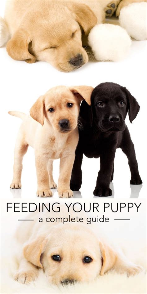 when to feed puppies feeding your labrador puppy guide and diet chart
