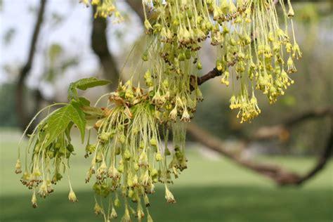 tree flowers 5 sugar maple