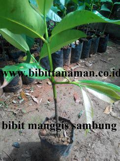 Jual Bibit Durian Bawor Nganjuk jual bibit manggis bibit manggis unggul bibit manggis
