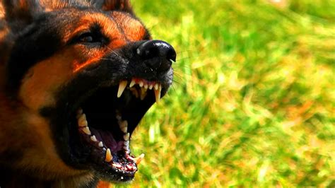 angry barking angry bark and growl sound effects high quality braking