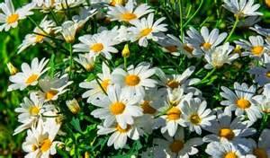 lindas margaridas brancas luzia couto flores e frases