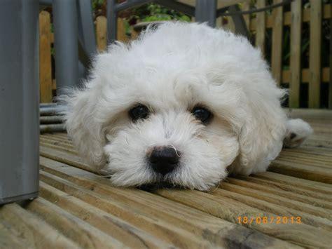 bichon frise puppies for sale bichon frise puppy for sale shrewsbury shropshire