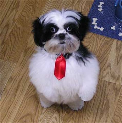 does a shih tzu shed shih tzus are family dogs that do not shed breeds picture