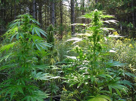 Cajon Box Pro Black Nature Elektrik hodowla marihuany uprawa konopi gdzie najlepiej hodowa艸