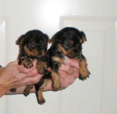 jorkie puppies yorkie yorkie x terrier mix facts temperament puppies pictures