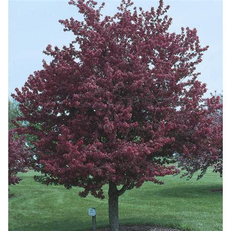 shop adams crabapple flowering tree l1119 at lowes com