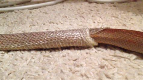 When Do Corn Snakes Shed by Corn Snake Quot Lieska Quot Shedding Skin