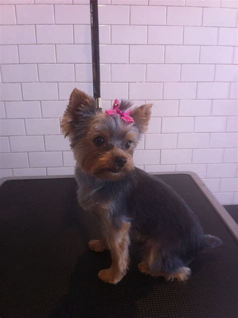 yorkie hair cutes face rounded 13 best images about grooming on pinterest comb over