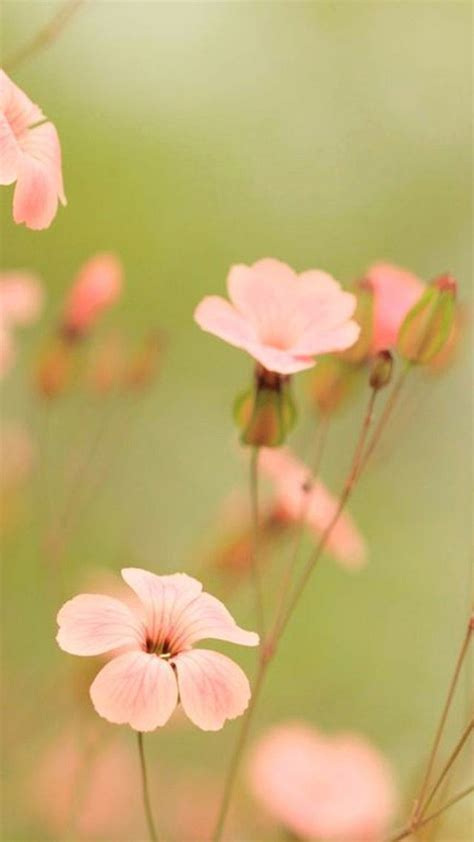wallpaper for iphone 6 plus flowers wallpaper iphone 6 plus flower pink 5 5 inches