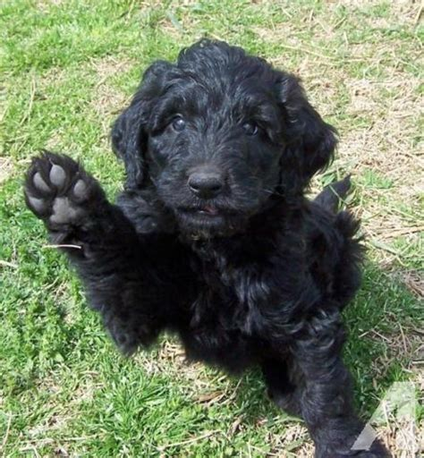 black goldendoodle puppies for sale black goldendoodle puppies now 6 wks for sale in lawton kansas classified
