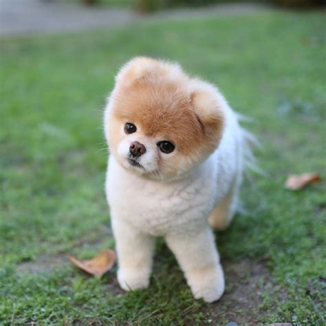 boo pomeranian owner boo of the web ferplast
