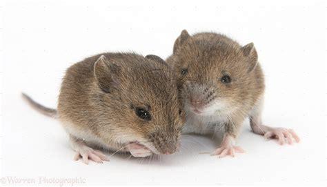 house mice mice mice house mus mus musculus