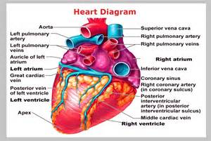 Diagram of the human heart and arteries