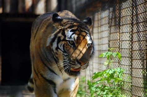 tigre in gabbia tigre in gabbia allo zoo 4 free photos