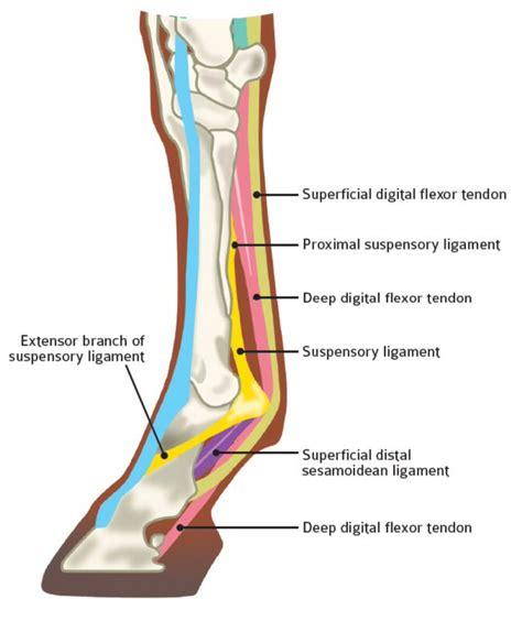 tendon diagram foot anatomy tendons and ligaments human anatomy diagram