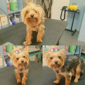 how often should i bathe my yorkie how to groom a yorkie grooming a terrier yorkie