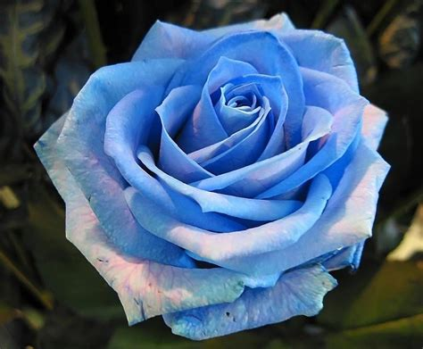 imagenes reales de rosas imagen de rosas hermosas taringa