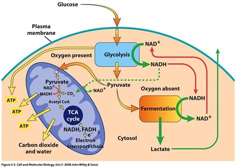 glycolysis diagram glycolysis cycle diagram images