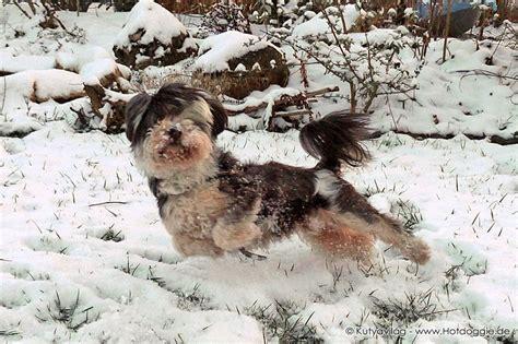 puppyspot havanese bichon frise breeder shih tzu breeder havanese breeders breeds picture