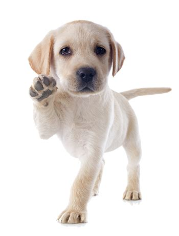puppy classes seattle classes near seattle academy of canine behavior bothell