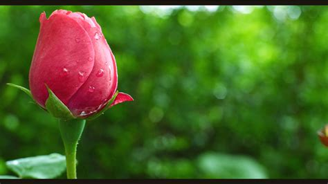 www gambar gambar pemandangan bunga tulip ma