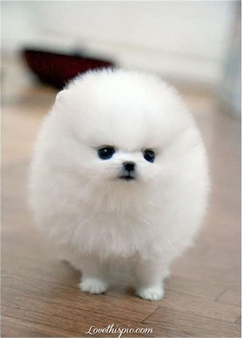White Fluffy by Fluffy White Pomeranian Pictures Photos And Images For